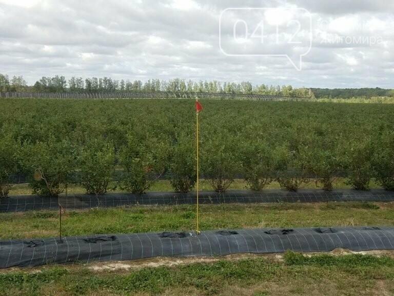 У Житомирській області фермер висадив 450 га лохини. ФОТО, фото-10