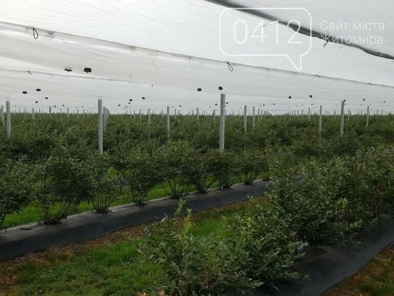У Житомирській області фермер висадив 450 га лохини. ФОТО, фото-11