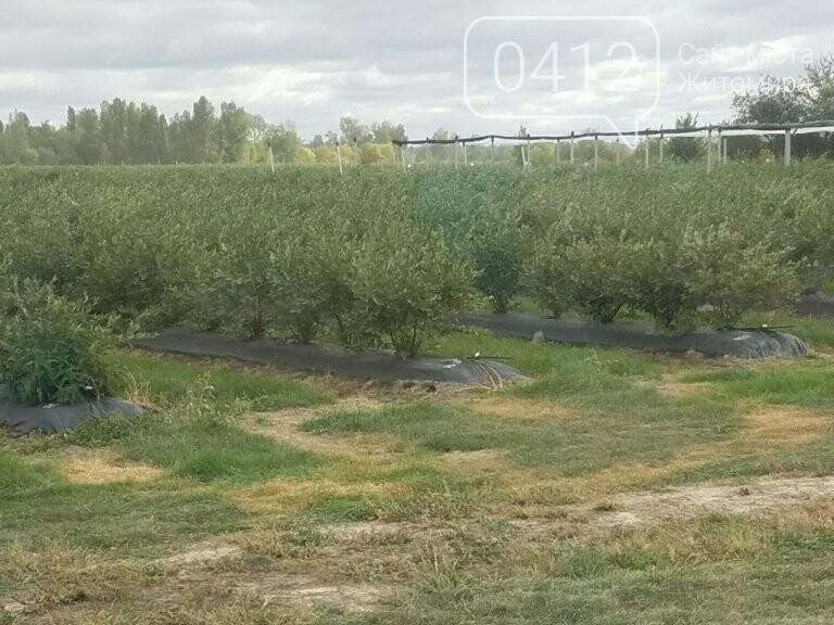 У Житомирській області фермер висадив 450 га лохини. ФОТО, фото-12