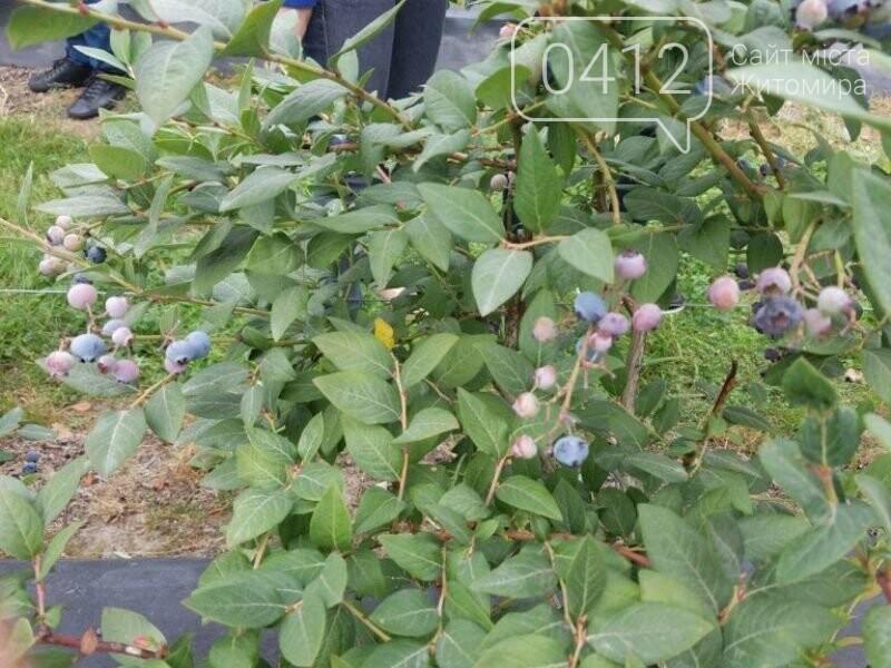 У Житомирській області фермер висадив 450 га лохини. ФОТО, фото-1