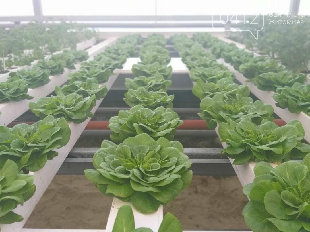 У теплиці одного з житомирських університетів вирощують органічні салати і пряні трави. ФОТО, фото-1