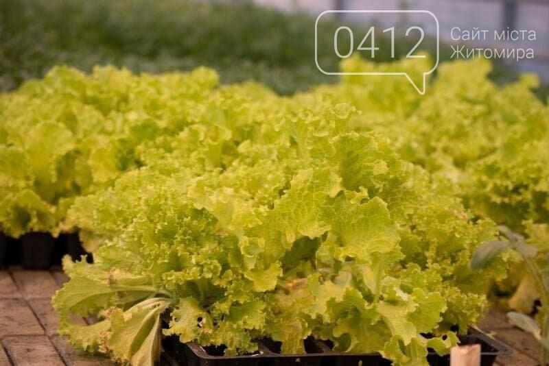 У теплиці одного з житомирських університетів вирощують органічні салати і пряні трави. ФОТО, фото-2