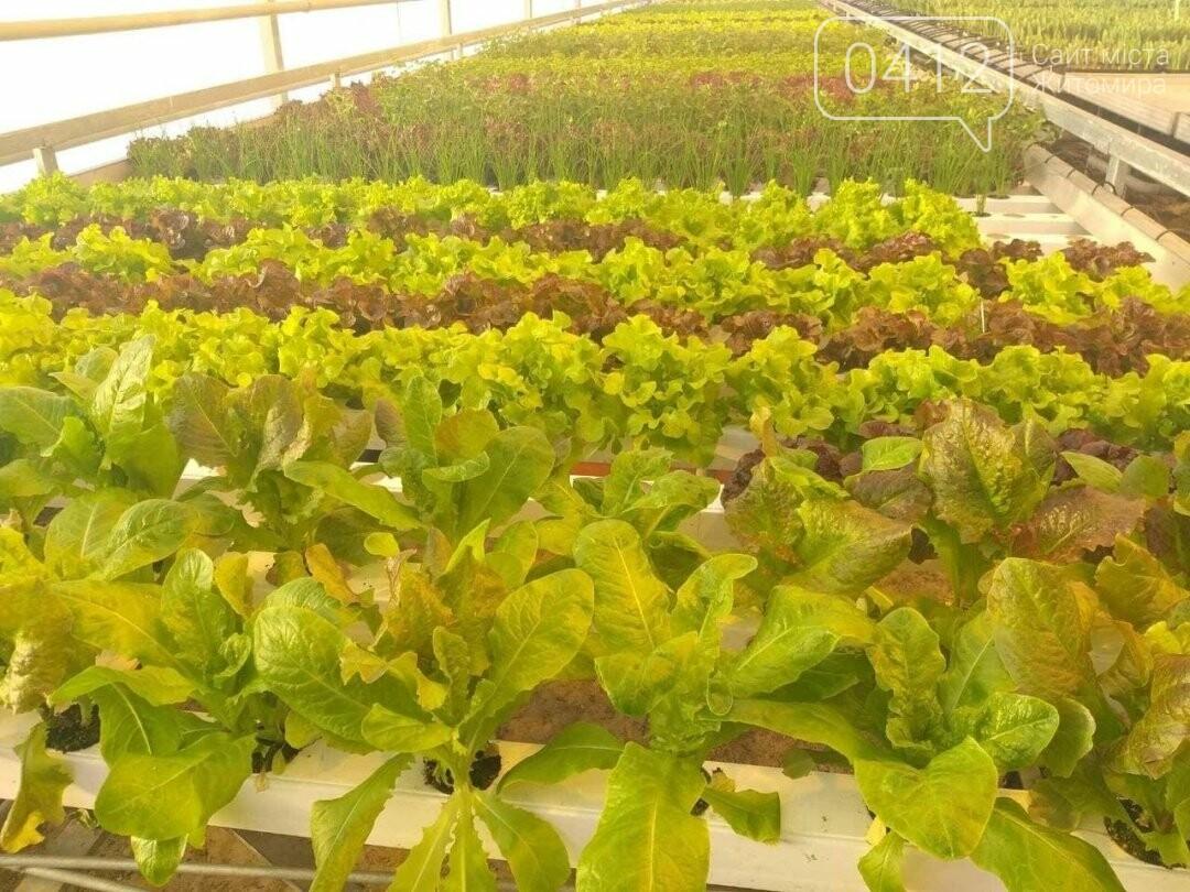 У теплиці одного з житомирських університетів вирощують органічні салати і пряні трави. ФОТО, фото-3