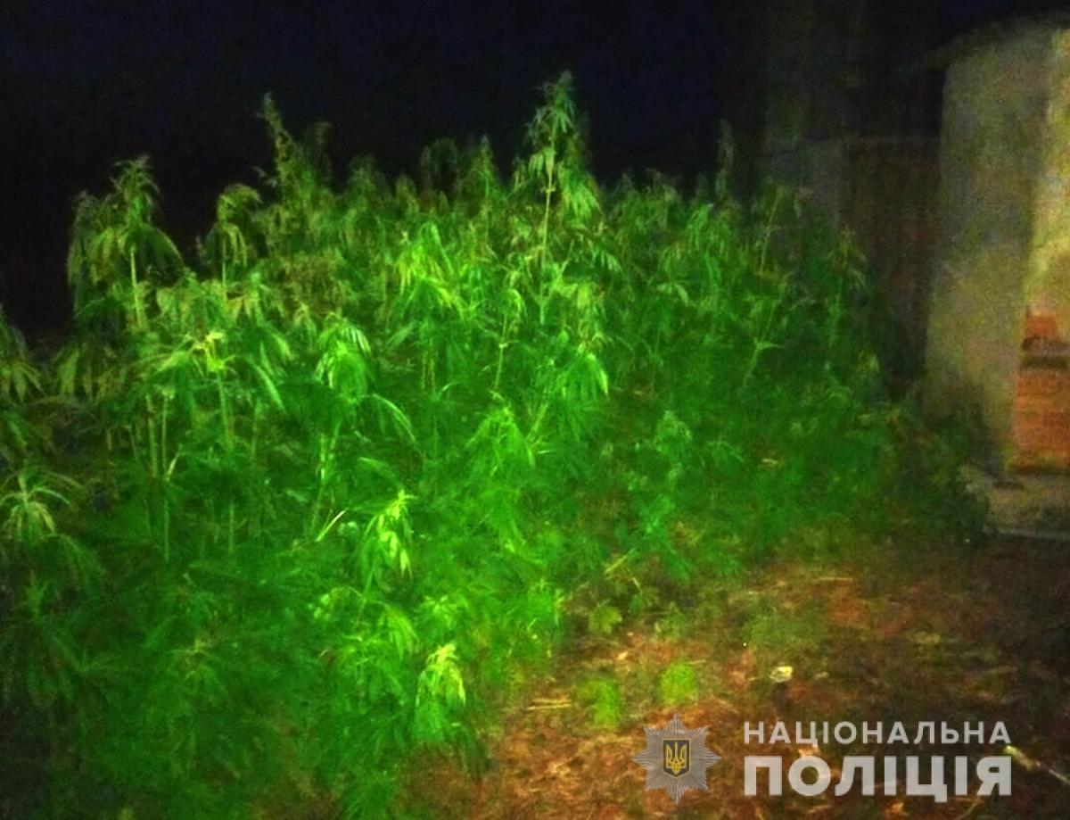 За день правохоронці Житомирської області виявили 700 кущів коноплі, фото-3