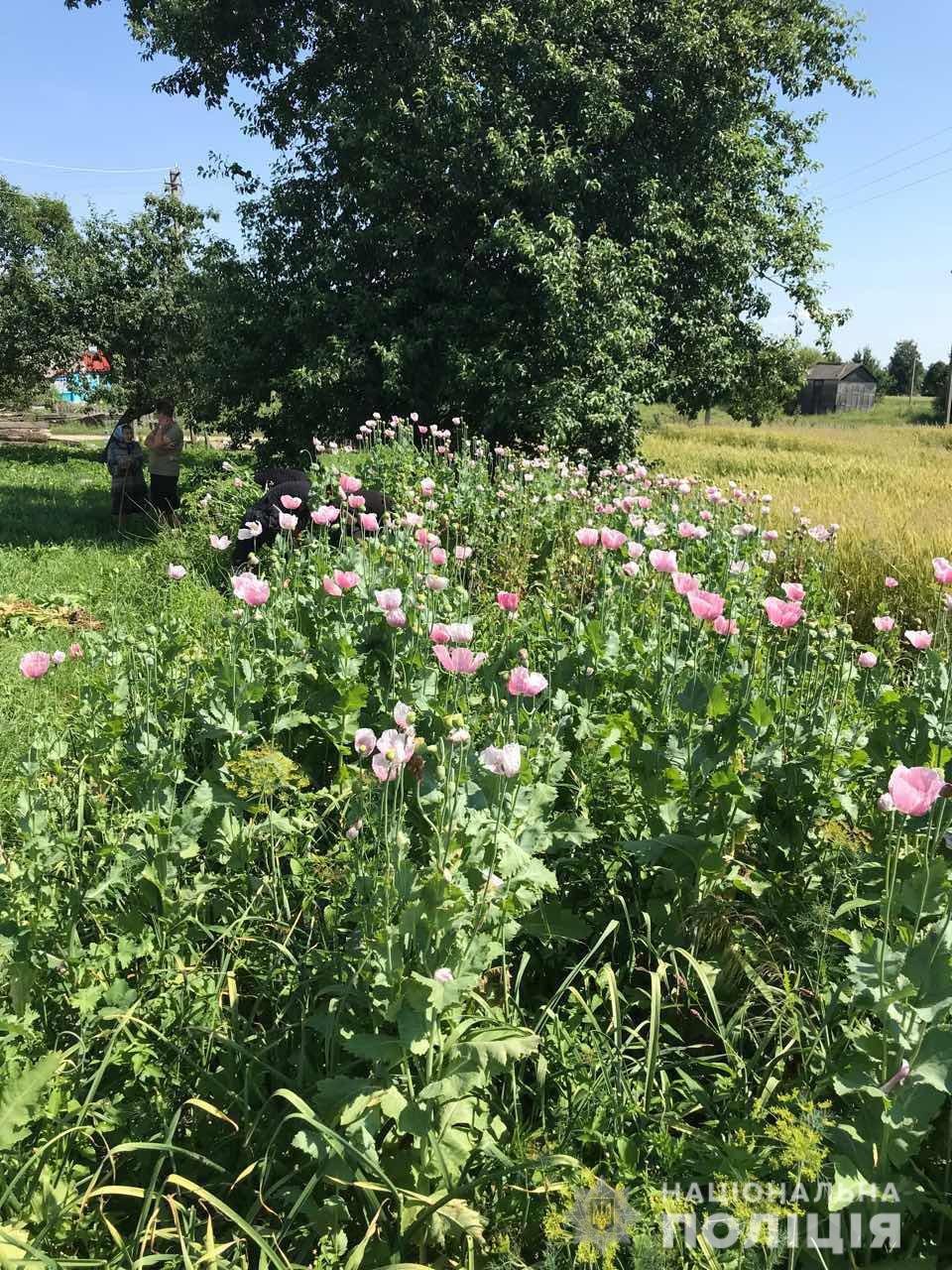 На Житомирщині правоохоронці продовжують вилучати наркотичні рослини, фото-1