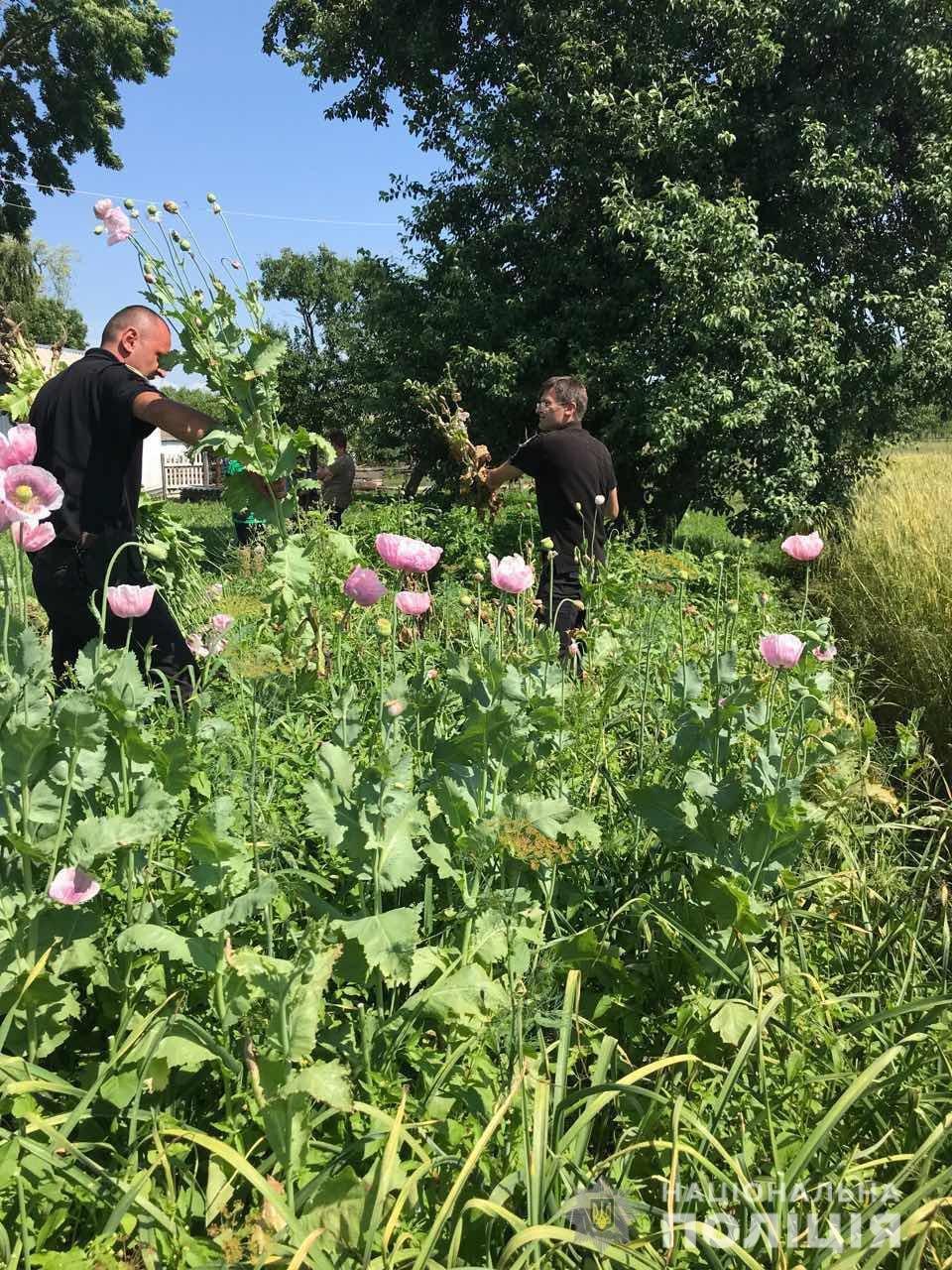 На Житомирщині правоохоронці продовжують вилучати наркотичні рослини, фото-3